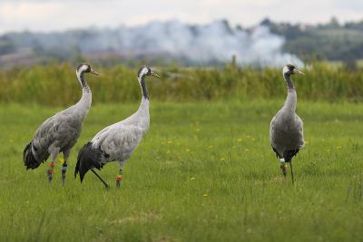 Minnie', 'Squidgy' and 'Vince', Three Eurasian Cranes (Grus Grus) Released onto Somerset Levels, UK