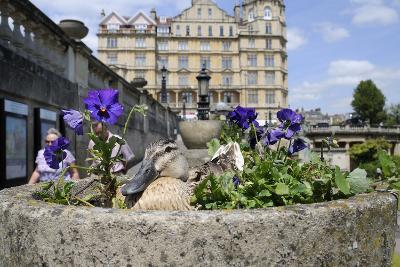 Mallard Duck (Anas Platyrhynchos) Female Nesting in Flowerpot with Pansies, Parade Gardens, Bath,Uk
