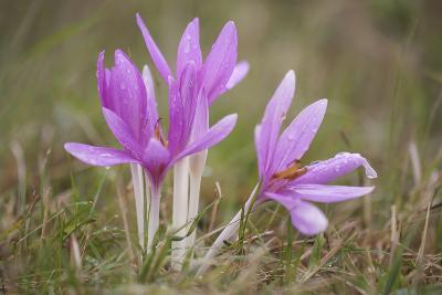Meadow Saffron Crocuses Covered in Water Droplets, Mohacs, Béda-Karapancsa, Duna Drava Np, Hungary