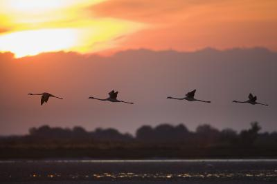 Greater Flamingos (Phoenicopterus Roseus) in Flight, Silhouetted at Sunrise, Camargue, France, May
