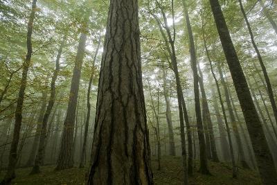 Black Pines (Pinus Nigra) and Beech Trees in Mist, Crna Poda, Tara Canyon, Durmitor Np, Montenegro