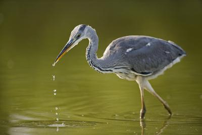 Grey Heron with Water Dripping from Beak, Elbe Biosphere Reserve, Lower Saxony, Germany, September