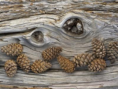 Bosnian Pine (Pinus Leucodermis) Close-Up Fallen Trunk Bark with Cones, Pollino, Basilicata, Italy