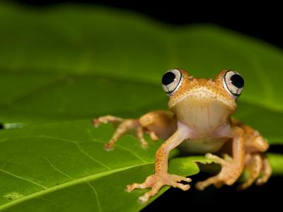 Frog on Leaf, Madagascar
