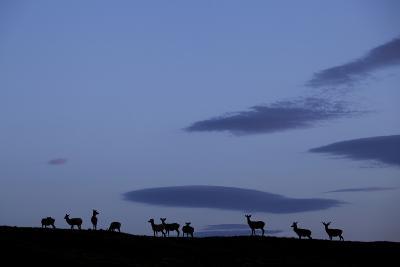 Silhouette of Herd of Female Red Deer (Cervus Elaphus) on Ridge at Dawn, Caithness, Scotland, UK