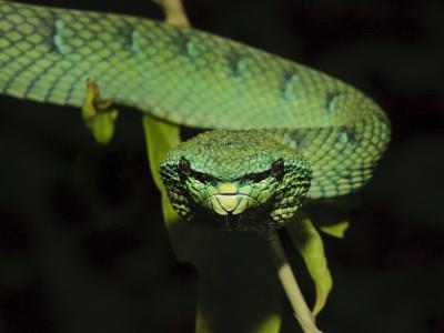 Temple Wagler's Pit Viper Bako National Park, Sarawak, Borneo