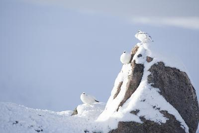 Three Rock Ptarmigan (Lagopus Mutus) Perched on Rock, Camouflaged in Snow, Cairngorms, Scotland, UK