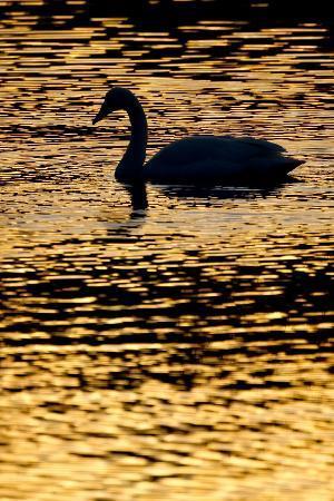 Whooper Swan (Cygnus Cygnus) Silhouette at Sunrise, Loch Insh, Cairngorms Np, Kincraig, Scotland