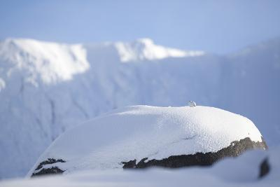 Rock Ptarmigan (Lagopus Mutus) on Boulder in Winter Plumage, Cairngorms Np, Highlands, Scotland, UK