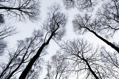 View Through Branches of Birch Trees Against a Winter Sky, Yoxall, Derbyshire, UK, November 2010