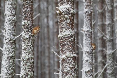 Two Red Squirrels (Sciurus Vulgaris) in Snowy Pine Forest. Glenfeshie, Scotland, January