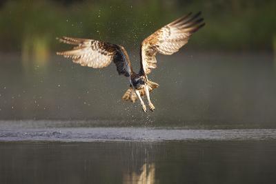 Osprey (Pandion Haliaeetus) Fishing at Dawn, Cairngorms Np, Highland, Scotland, UK, July