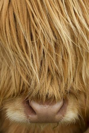Close-Up of Highland Cow (Bos Taurus) Showing Thick Insulating Hair, Isle of Lewis, Scotland, UK