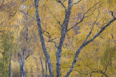 Silver Birch (Betula Pendula) Woodland in Autumn, Craigellachie Nnr, Cairngorms Np, Scotland, UK