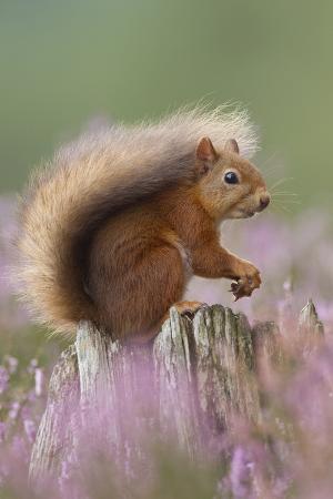 Red Squirrel (Sciurus Vulgaris) on Stump in Flowering Heather. Inshriach Forest, Scotland