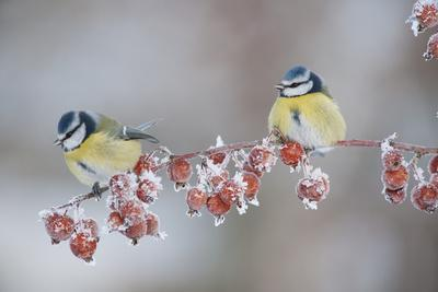 Blue Tits (Parus Caeruleus) in Winter, on Twig with Frozen Crab Apples, Scotland, UK, December