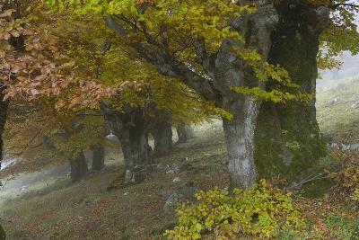 Old Beech Trees (Fagus Sp) in Autumn, Piatra Craiului, Transylvania, Carpathian Mountains, Romania