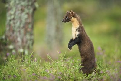 Pine Marten (Martes Martes) Female Portrait, Standing in Caledonian Forest, Highlands, Scotland, UK