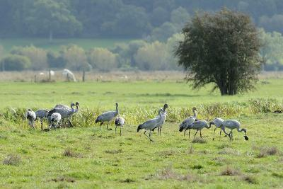 Juvenile Common - Eurasian Cranes (Grus Grus) Released onto the Somerset Levels and Moors, UK