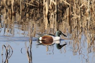 Northern Shoveler Drake (Anas Clypeata) in Waters of Flooded Marshland, Somerset Levels,Uk