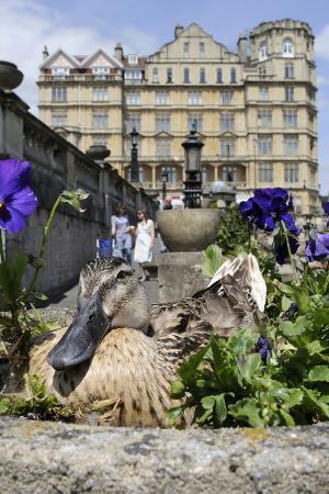 Female Mallard Duck (Anas Platyrhynchos) Nesting in Stone Flowerpot Among Pansies, Bath, UK