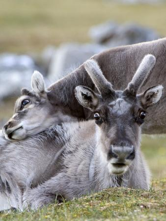 Young Svalbard Reindeer Rubbing its Head on Adults Back, Svalbard, Norway, July
