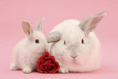 White Lop Rabbits, Adult and Baby with a Rose