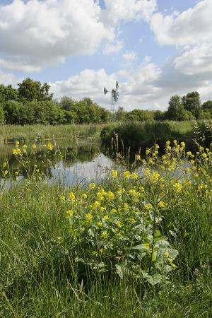 Wind Pump, Charlock (Sinapis Arvensis) Flowering in the Foreground, Wicken Fen, Cambridgeshire, UK