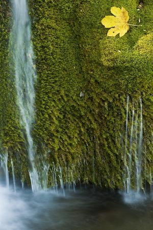 Water Flowing over Moss with a Sycamore Leaf, Kosjak Lake, Plitvice Lakes Np, Croatia, October 2008