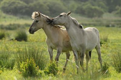 Konik Horses Mutual Grooming, Wild Herd in Rewilding Project, Wicken Fen, Cambridgeshire, UK, June