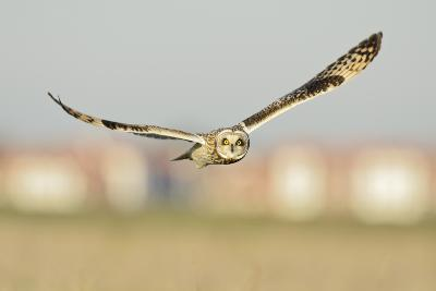 Short-Eared Owl (Asio Flammeus) Hunting over Farmland with Town in Background, Wallasea Island, UK