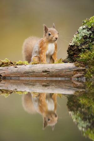 Red Squirrel (Sciurus Vulgaris) at Woodland Pool, Scotland, UK, November