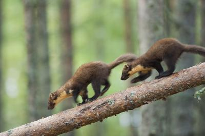 Pine Marten (Martes Martes) Two 4 Month Kits Running Along Branch, Caledonian Forest, Scotland, UK