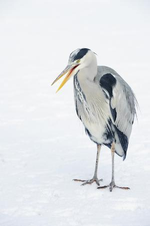 Grey Heron (Ardea Cinerea) on Ice, Beak Open, River Tame, Reddish Vale Country Park, Stockport, UK