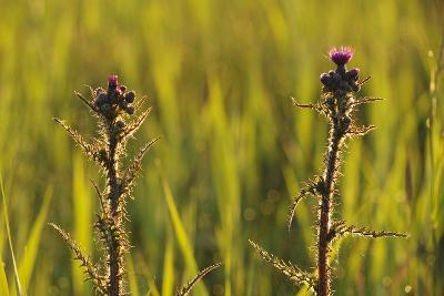 Marsh Thistle (Cirsium Palustre) Flowering on Managed Grazing Land, Wicken Fen, Cambridgeshire, UK
