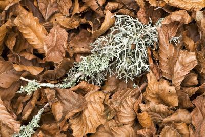 Fallen European Beech Leaves (Fagus Sylvatica) and Twig with Lichen, Pollino Np, Basilicata, Italy