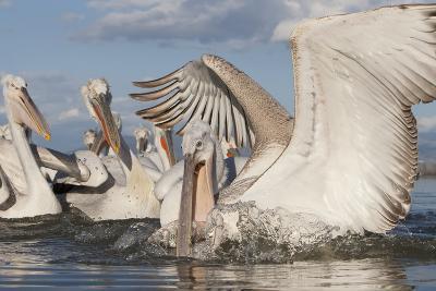 Dalmatian Pelican (Pelecanus Crispus) Catching Fish, Lake Kerkini, Macedonia, Greece, February 2009