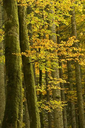 Autumn in Corkova Uvala with Silver Fir, European Beech and Spruce Trees, Plitvice Lakes Np,Croatia