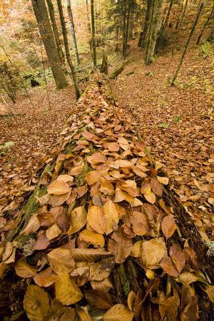 Dead Spruce (Picea Abies) Trunk Covered in Fallen Beech Leaves, Corkova Uvala, Plitvice Np, Croatia