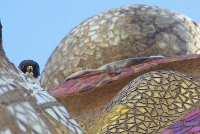 Peregrine Falcon (Falco Peregrinus) Looking Down from Spire of the Sagrada Familia Cathedral, Spain