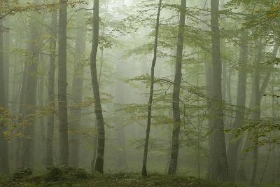 Forest with Beech Trees and Black Pines in Mist, Crna Poda Nr, Tara Canyon, Durmitor Np, Montenegro