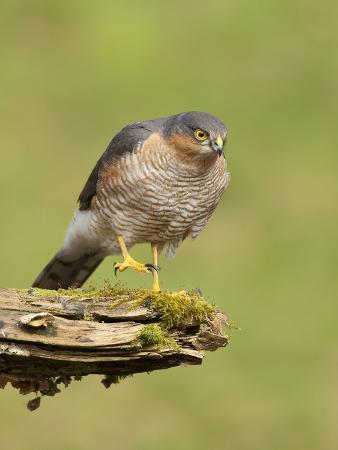 Sparrowhawk (Accipiter Nisus) Adult Male. Scotland, UK, February