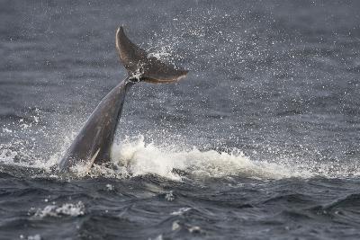 Bottlenose Dolphin (Tursiops Truncatus) Breaching, Moray Firth, Inverness-Shire, Scotland, UK