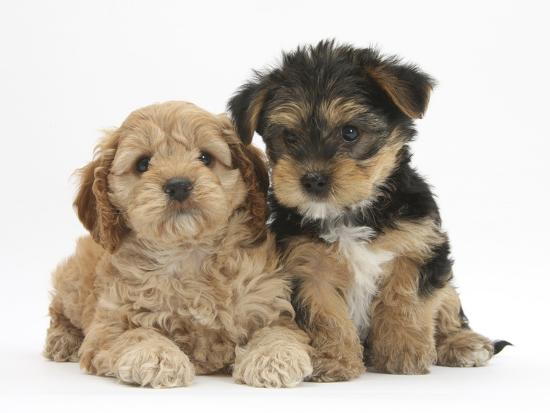 Cavapoo Puppy 7 Weeks And Yorkshire Terrier Puppy 8 Weeks