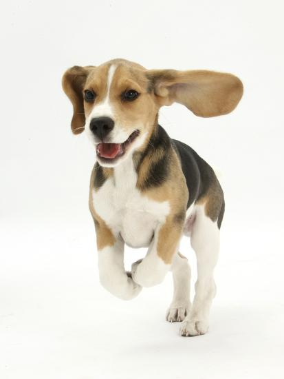 Beagle Puppy Running Photographic Print by Mark Taylor at ...  Running