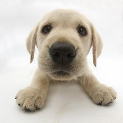Yellow Labrador Retriever Puppy, 8 Weeks Old, Lying with Head Up