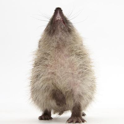 Baby Hedgehog (Erinaceus Europaeus), Nose Up, Sniffing the Air