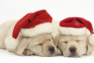 Sleeping Yellow Labrador Retriever Puppies, 8 Weeks, Wearing Father Christmas Hats