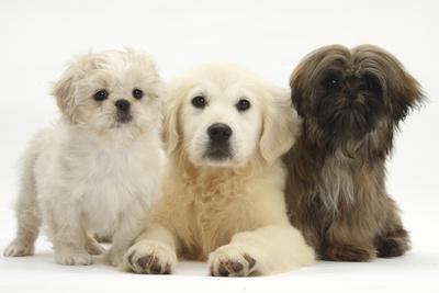 Golden Retriever Puppy 16 Weeks With Cream Shih Tzu Puppy 7 Weeks
