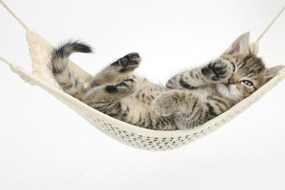 Cute Tabby Kitten, Stanley, 7 Weeks Old, Lying in a Hammock